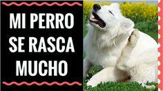 Mi Perro se Rasca Mucho -Alergia en Perros, una de las principales Enfer...