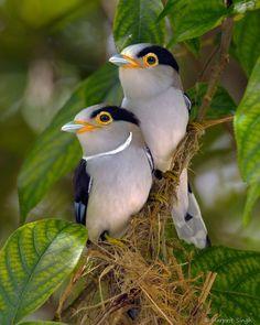 Male & Female Silver-Breasted Broadbills