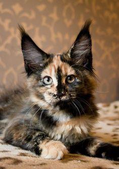 The better to hear you via kittehkats.tumblr.com