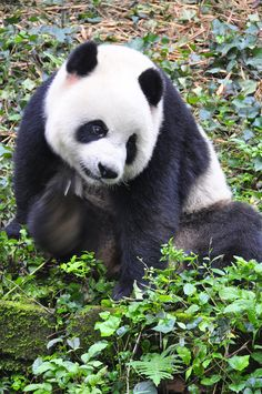 The giant panda (Ailuropoda melanoleuca; Chinese: 大熊猫) is a bear native to south central China. Though it belongs to the order Carnivora, the bear is a folivore, with bamboo shoots and leaves making. Panda Love, Red Panda, Cute Panda, Bear Pictures, Animal Pictures, Cute Pictures, Bear Cubs, Panda Bears, Zoo Animals