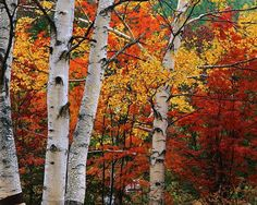 New birch tree forest photos Ideas Palm Tree Pictures, Tree Images, Fall Pictures, White Birch Trees, Aspen Trees, Tree Forest, Birch Forest, Tree Photography, Photo Tree