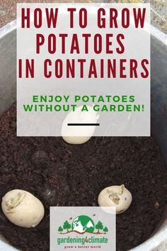 Growing Potatoes In Containers - How to Plant Potatoes In Pots Growing Potatoes In Containers is great fun. This simple way of growing potatoes can be done on the patio, on balconies or backyard. Harvest loads of delicious tubers from a potato planter. When To Plant Vegetables, Growing Veggies, Planting Vegetables, Growing Tomatoes, Organic Vegetables, Growing Cabbage, Growing Ginger, Planting Onions, Planting Potatoes