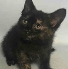 Cam Cam A1117185 Super Urgent Shelter Cats  These animals are either high risk, injured or have previously appeared on the To Be Destroyed list and survived. They are in danger of being on the list again or destroyed without any further notice.