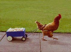 the real reason the chicken crossed the road....he was delivering eggs