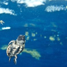 1000 Images About We Sea Turtles On Pinterest Sea