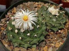Obregonia denegrii – Artichoke Cactus - See more at: http://worldofsucculents.com/obregonia-denegrii-artichoke-cactus