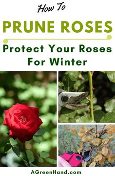 When pruning roses for winter, you should take note of the type of rose you're pruning. Early spring is the best time to prune hybrid roses, for example. What's more, late winter should be the time to prune roses