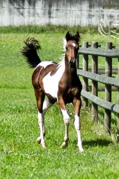 "Pintabian Stute ""My Little Passion"" - Pinto for Pleasure - Pintabians, Pintoaraber und Partbred Araber Österreich"