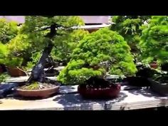 WORLD OF NATURE AND LIFE: WONDEFUL WORLD OF BONSAI TREES