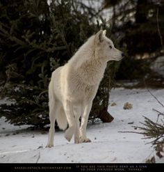 Arctic Wolf 3 by SalsolaStock on DeviantArt Cane Corso, Coyotes, Sphynx, Wild Life, Otter, Chinchilla, Rottweiler, Beautiful Creatures, Animals Beautiful