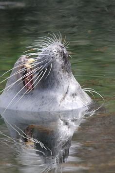 Sea Lion on Water