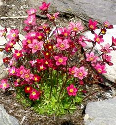 Saxifraga contains over 450 species of perennial and annual plant. The plants require moist soil, especially in spring when they are growing the most. Shade Perennials, Flowers Perennials, Shade Plants, Planting Flowers, Rock Plants, House Plants, Millet Plant, Thyme Plant, Shade Grass