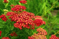 Achillea 'Paprika'. The rich flower colour fades as the flower matures which creates a pleasing effect.  Flowers June-September. Up to 70 x 60cm.