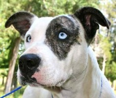 Azure is an adoptable Catahoula Leopard Dog Dog in Chipley, FL. Azure is a 1 to 2 year old female blue eyed catahoula cross, about 35 to 40 pounds. Azure is a bit nervous in the shelter but is a frie...