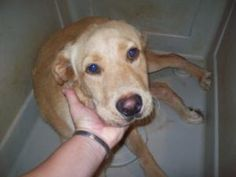 Bear (neutered) is an adoptable Yellow Labrador Retriever Dog in Chipley, FL. Bear is a sweet but scared boy. He appears to be mostly yellow lab and would not get up as he was too scared in the shelte...