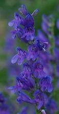 300 ROCKY MOUNTAIN PENSTEMON BEARDTONGUE Flower Seeds