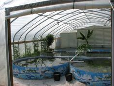 tilapia farm ~ interesting...  Fresh fish protein available in tough times if you grow them yourself.