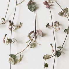 Flores de Ceropegia woodii, collar de corazones.  Floración de suculentas. Suculentas colgantes. Cactus Y Suculentas, Echeveria, Instagram, Plants, Ideas, Hanging Succulents, Growing Succulents, Succulent Plants, Heart Necklaces