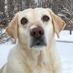 Snowy Sage. #katanddog #lab #labs #lablife #lablove #labrador #lablovers #labradors #labstagram #laboftheday #labsofinsta #labradorable #labsofinstagram #labradorretriever #labradorretrievers #labradorsofinstagram #retriever #retrievers #retrieversgram #retrieveroftheday #retrieversofinstagram #worldoflabs #dog #dogs #weeklyfluff # #yellowlab #yellowlabs #yellowlabrador #yellowlaboftheday #labradoryellow