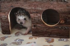 Hedgehog!! lol I need to make this for my new hedgie when I get one.