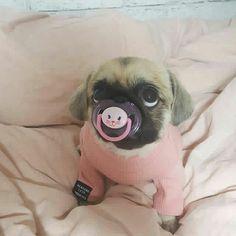 Cute pugs, cute pug puppies, pugs and kisses, pug love, cute creature Cute Little Animals, Cute Funny Animals, Funny Cute, Funny Dogs, Cute Baby Pugs, Cute Dogs And Puppies, Doggies, Black Pug Puppies, Bulldog Puppies