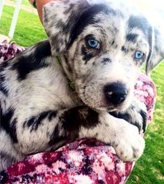 Grover is a 8 week old Catahoula Leopard dog. He and his siblings will grow into big, energetic beautiful dogs.