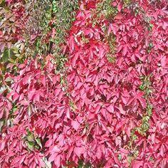 Vigne vierge quinquefolia 'Engelmani' - Plantes et Jardins
