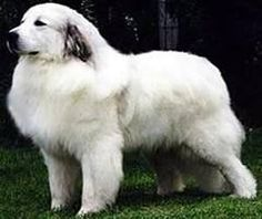 A Reserved and Attentive Great Pyrenees