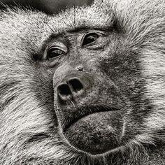 Denne vakre apen møtte jeg i den store dyrehagen i Berlin. Det kanskje dumt å støtte dyrehager men jeg elsker å fotografere dyr og har ikke sett så mange av disse i nabolaget hjemme. Men kanskje en gang i fremtiden etter en global oppvarming? Jeg hater å være politisk korrekt til enhver tid også så fuck it. Det jeg ser med linsene mine er noen triste lengtende øyne og da blir jo opplevelsen enda sterkere. Jeg er ikke opptatt av hapiness til enhver tid. Det er like gripende og godt for… Animals, Animales, Animaux, Animal, Animais, Dieren