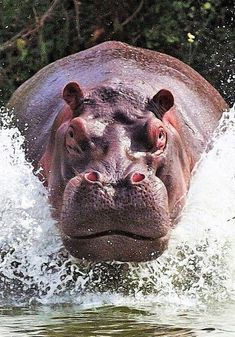 Hippo Don't worry, I'm coming. I have to say that, apart from my description above, hippos are supposed to be one of the most dangerous animals in the world. They're fast too. Nature Animals, Animals And Pets, Cute Animals, Baby Animals, Funny Animals, Wild Animals, Wildlife Photography, Animal Photography, Beautiful Creatures