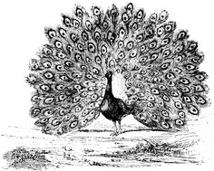 Adult Coloring Pages Peacock Free
