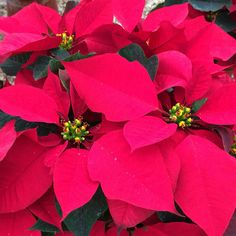 Noche Buena, Christmas plants by excellence from Mexico!