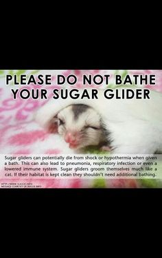 Are Sugar Gliders Good Pets? Sugar Glider Care, Sugar Gliders, Hamsters As Pets, Chinchillas, Rodents, Guinea Pig Toys, Guinea Pigs, Sugar Bears, Like A Cat