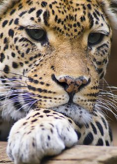 Leopard - what a perfect work of art. ~ETS