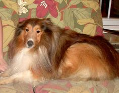 Central Illinois Sheltie Rescue - Shelties Available