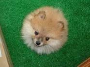 Pomeranians!