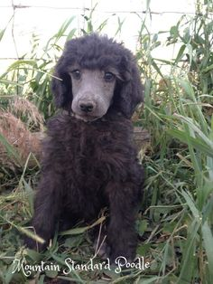 Chip at 7 weeks. He will be a silver standard poodle