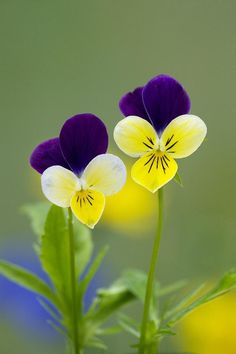 Out the Front Window - violas Exotic Flowers, Amazing Flowers, Pretty Flowers, Wild Flowers, Best Flowers, Lilies Flowers, Water Flowers, Little Flowers, Tropical Flowers