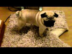 Crazy Pug. It's even funnier because the Pug is running on a hardwood floor and slipping and sliding everywhere!
