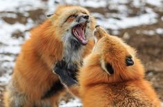Red Foxes by Takayuki Koike - National Geographic Your Shot