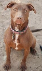 BELLS is an adoptable Weimaraner Dog in Fresno, CA. This is Bells. She also goes by Bella and Baby Girl. Bells is a one and a half year old, female Weimaraner mix. She does amazing with other dogs. Sh...