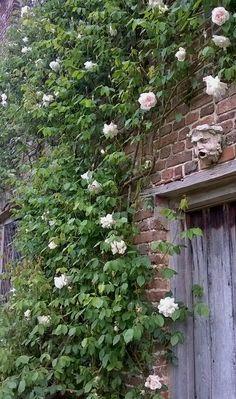 L'Assommoir Sissinghurst Roses  by Troy Scott Smith