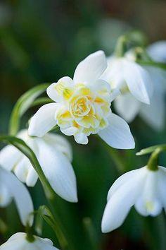 Galanthus Nivalis 'Lady Elphinstone' (Snowdrop, Schneeglöckchen).