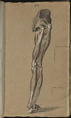 Sagemolen, Marten (dessin). - [Myologie de l'homme: membre supérieur, membre inférieur] 1654-1660. Myologie de la jambe. (Ms 29)  Adresse permanente de cette image :  http://www.biusante.parisdescartes.fr/histoire/medica/resultats/index.php?p=73&cote=ms00029&do=page