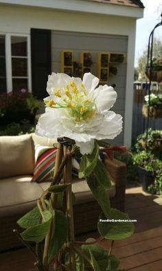 replication of male kiwi flower on kiwi vine with stamen filled with pollen foodie gardener