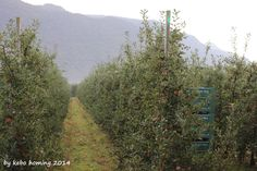 Der Blick auf den Südtiroler Apfel... Oktober... Apfelernte... #SouthTyrol #apples