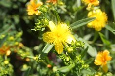 HYPERICUM kalmianum 'Gemo' Plants, Plant, Planting, Planets