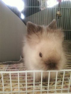 Lionhead baby bunny @Tim Wermeling!!!  See, you can't tell me you don't like bunnies.  This is adorable.