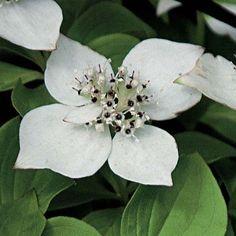 Cornus canadensis - Un Cornouiller couvre-sol à fleurs blanc vert