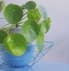 Pilea, ook wel pannenkoekplant genoemd